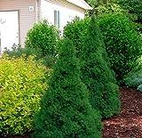 "Pianta""Picea Glauca Conica"" in vaso ø18 cm conifera sempreverde h. 50/80 cm"