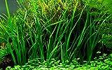 Tropica Aquarium Pflanze Cyperus helferi Wasserpflanzen Topf Nr.133A