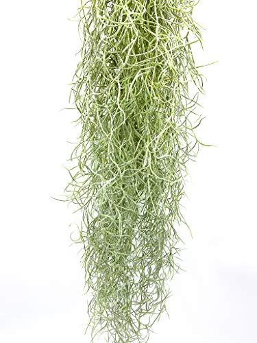 Tillandsia usneoides | Luftpflanze | Zimmerpflanze | Urban Jungel | Zimmerpflanzen indoor | Tillandsien Pflanzen echt | Länge 55-65 cm |