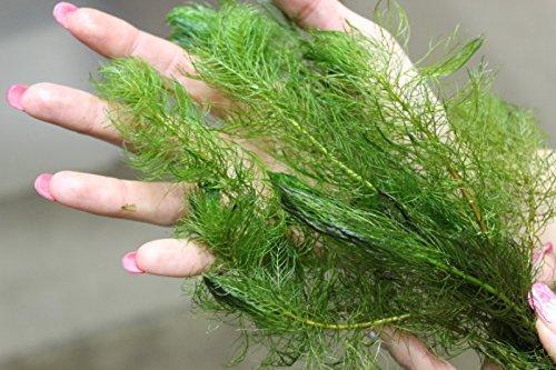 ZAC Wagner XXL Großbund 30 St. Tausendblatt (Myriophyllum) Unterwasserpflanze Teichpflanzen Teichpflanze Schwimmpflanzen