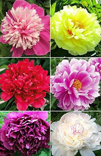 20+ Mixed Peony Flower Seeds Double Beautiful Perennial Bonsai Plant Garden