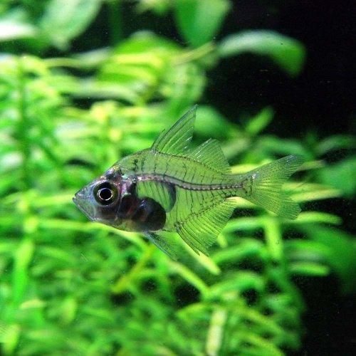 (熱帯魚)グラスエンゼル(約2cm)<10匹>[生体]