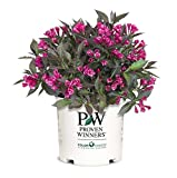 Premier Plant Solutions 13457 Spilled Wine Proven Winners Weigela, 3 Gallon, Dark Red/Pink