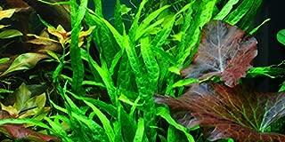 Narrow Leaf Java Fern (Microsorum Pteropus Narrow Leaf) - Live Aquarium Plant