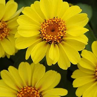 zinnia zahara xl yellow