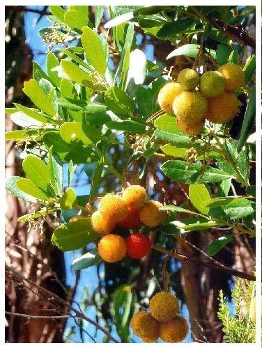TROPICA - Arbousier (Arbutus unedo) - 100 graines- Méditerranée