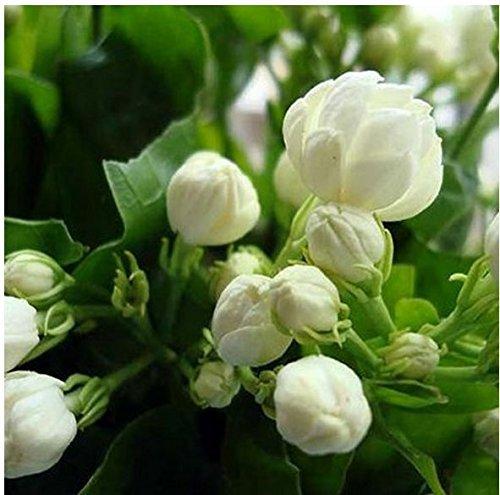 20seeds/Jasmin de sac de graines de plantes en intérieur Graines de fleurs vivaces