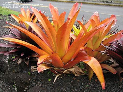 Generic Fresh 50 stks Bromelia Tillandsia Bulbosa plant ZADEN voor het planten van sinaasappel 2