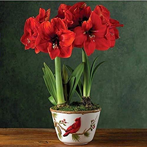 2Piezas Bombillas De Amarilis Rojas Para Plantar Flores Populares De Hippeastrum Con Estilo Dulce Decoración De Interiores Espectaculares Flores De Corte Hermosas