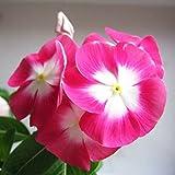 XdiseD9Xsmao 20Pcs Madagascar Semi Di Pervinca Fiore Semi Di Piante Catharanthus Roseus Pianta Giardino Domestico Cortile Balcone Fiore