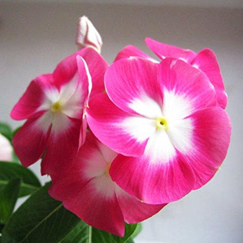 good01 20 Stücke Madagaskar Immergrün Blumensamen Catharanthus Roseus Hausgarten Zierpflanzen Blume