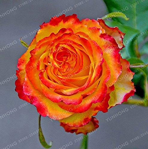 50 Pcs/Sac rares Graines Rose 24 couleurs au choix Belles graines de fleurs vivaces Balcon Jardin en pot Plante bricolage jardin 7