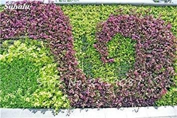 VISTARIC 3: 50 Pcs Mixed Boston Seeds 100% vrai Parthenocissus tricuspidata semences de plantes en plein air QUASIMENT soins décoratifs Escalade de plantes 3