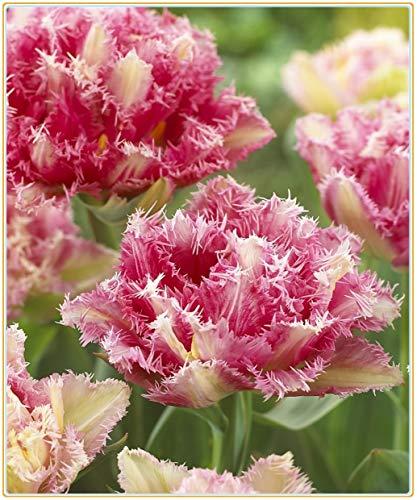 Strauch-pfingstrosen/Wohlhabende Blumenzwiebeln, attraktive, haltbare Pflanzen, Wohnzimmerdekorationen, Blumen sind selten-1 Zwiebeln,2