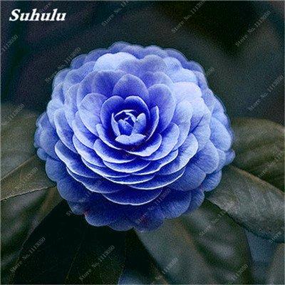 Grosses soldes! 10 Pcs Camellia Graines, Graines Bonsai Fleur, couleur rare, bonsaïs d'intérieur / extérieur Plante en pot pour jardin Facile à cultiver 7
