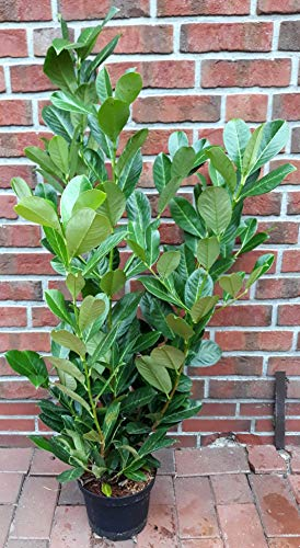 6 Kirschlorbeer Pflanzen, Höhe: 100-120 cm ab Topf, Prunus Rotundifolia