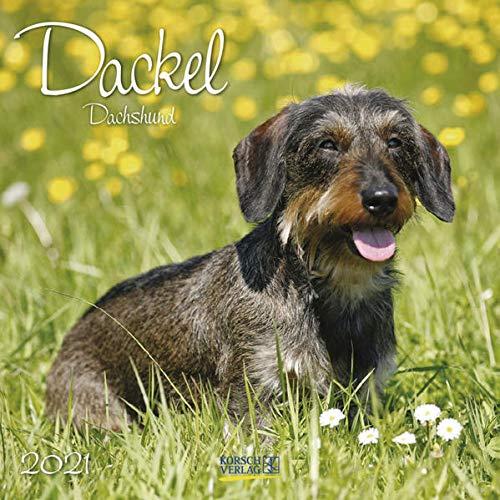 Dackel 2021: Broschürenkalender mit Ferienterminen. Hunde-Kalender. 30 x 30 cm