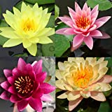 Pre-Grown Hardy Water Lily Tuber (Top 4 IWGS Award) Aquatic Pond Plant Garden Assorted Free...
