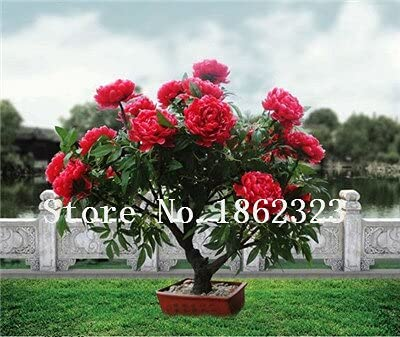 Tomeco 10 pcs Mixed Color Peony Seed Chinese Rose Tree Peony Flower Potted Plant Decoration Seed Flower Plant for Home Garden - (Color: 15)