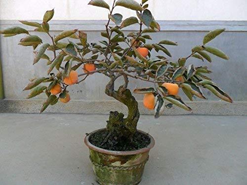 Graines Bonsai Persimmon arbres (30 Pièces par sac) Perennial Bonsai Fruit Graines