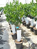Zitronenbaum/Citrus eureka Baum mit dickem Stamm gesm. ca. 135-140 cm