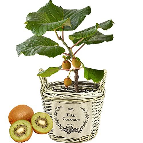 花のギフト社 キウイ鉢植え キウイの木 キウイフルーツの木 鉢植え フルーツの木 鉢花 花鉢 父の日