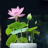 Bonsai Lotus Seeds,20PACK Water Lily Flower...