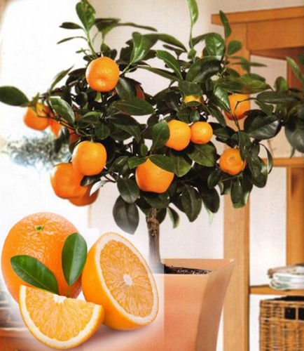 10 Edible Fruit Orange Tree Seeds, Bonsai Citrus Orange Tree Seeds
