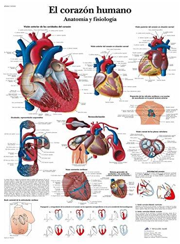 3B Scientific VR3334UU Impreso En Papel, el Corazón Humano, Anatomía y Fisiología