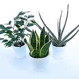 tris piante purifica aria: ficus benjamin, aloe vera, sanseveria laurentii in vasi ceramica, 3 piante depura aria, piante vere