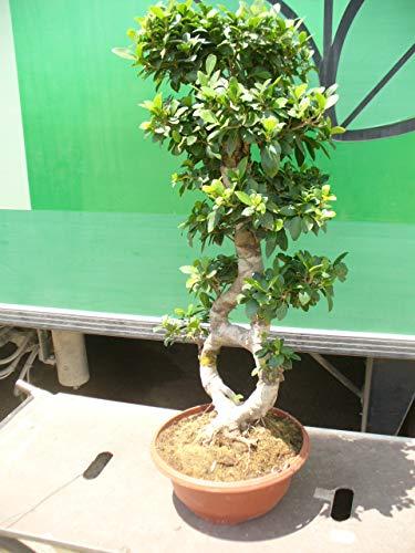 Bonsai Ficus-Ginseng, Bonsai 8, ca. 100 cm hoch