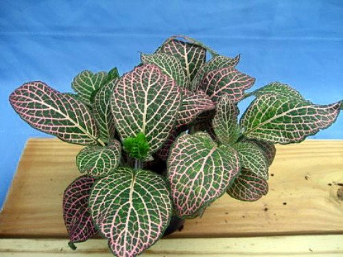 """Red Veined Nerve Plant - Fittonia - Easy House Plant - 6"""" Pot"""