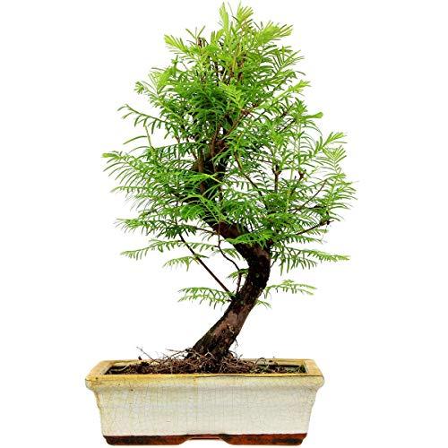 Mammutbaum, Bonsai, 11 Jahre, 45cm
