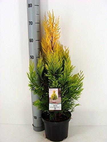 Gelber Riesenlebensbaum - Thuja plicata '4ever GOLDY®` - verschiedene Größen (80-100cm - Topf 5 Ltr.)