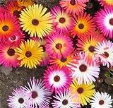 ICE PLANT Blumensamen - 25 frische Samen - lampranthus