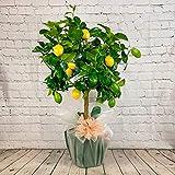 All Occasions Citrus Lemon Tree,...