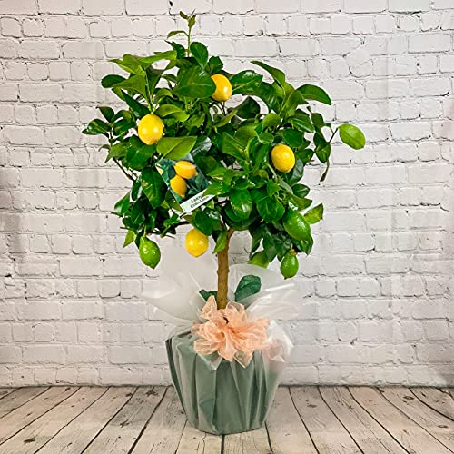 All Occasions Citrus Lemon Tree, Real Live Fruit Plant to Grow in Your...