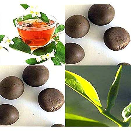 LOT 25 FRESH SEEDS CAMELLIA SINENSIS GROWN YOUR OWN TEA PLANT