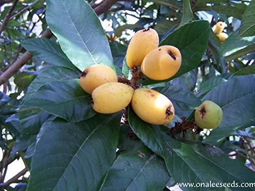 5 Fresh Mispel Samen, Japanische Pflaumen-Baum, Tropische Frucht, Eriobotrya Japonica Seeds