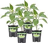 Bonnie Plants 202170 Serrano Pepper, Green