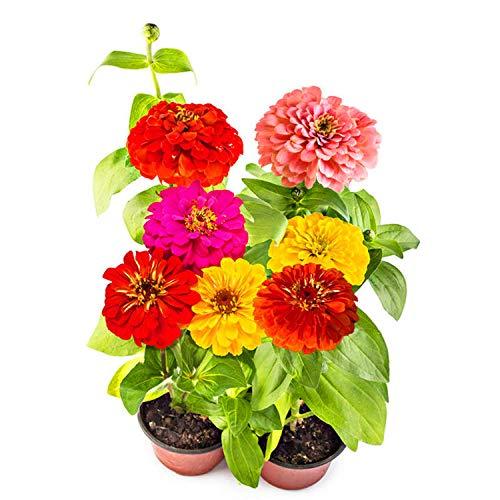 XINDUO mélange Fleurs graines,Zinnia Hybride Couleur Quatre Saisons Jardin en Pot Facile à Vivre graines de Fleurs-mélange de Couleurs_0.25kg,Graines de Parfum rares