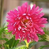 china aster rose semi di fiori 30+ (callistephus chinensis sea star) organici facili da coltivare per giardino bonsai piantatura indoor per esterni