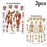 Justdolife Cartel Decorativo De Pared Cartel Decorativo De Anatomía Humana Cartel Colgante