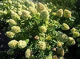 3 Gallon Pot Limelight PeeGee Hydrangea Tree Plant