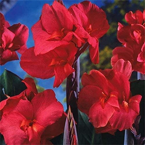 2 Stück Canna Lily Zwiebeln Tropische Blume Dauerhafte Blühende Landschaft Teich Garten Dekoration Cannas Zwiebeln