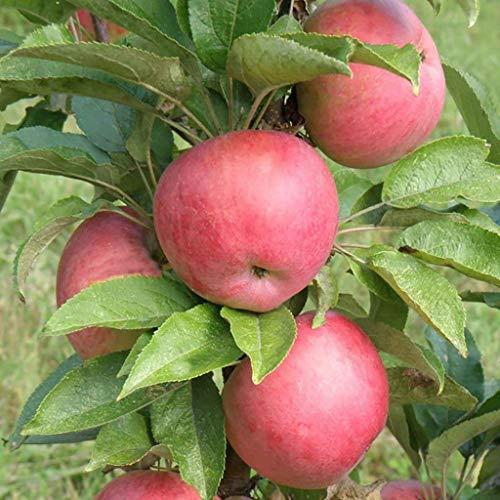 30pcs / semillas de manzano bolsa de semillas de árboles bonsai MINI fruta de enanos para plantar jardín de su casa