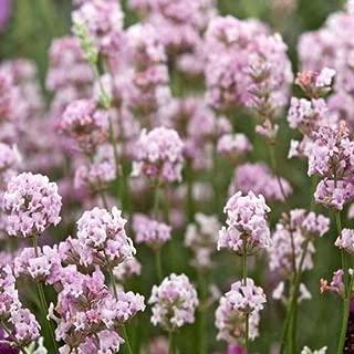 Cutdek Lavender Rosea Flower Seeds (Lavandula Angustifolia) 80+Seeds