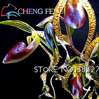 Kucus - Hot Sale 100pcs Flying Duck Orchid Flower Plants China Rare Red Flowers Beautiful Bonsai Plants Home Garden - (Color: Red)