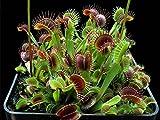 ADB Inc Venus Flytrap Premium Dionaea Muscipula Dioneia Semilla de planta