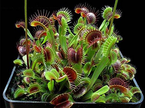 Clip ADB Inc Dionaea muscipula gigante Venus Fly Semi Trappola 300pcs